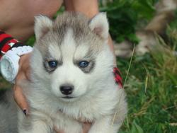 Joey , chien