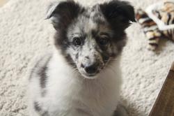 Joey, chien Berger des Shetland