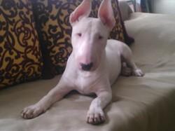 Jogg, chien Bull Terrier