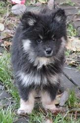Joggo, chien Berger finnois de Laponie