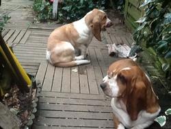 Johannesburg , chien Basset Hound
