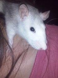 John, rongeur Rat