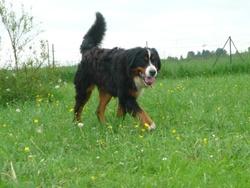 John, chien Bouvier bernois