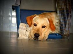 Johny, chien Labrador Retriever