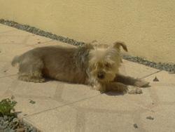 Jojo, chien Yorkshire Terrier