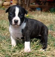 Jojo, chien American Staffordshire Terrier