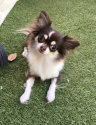 Jojo, chien Chihuahua
