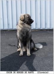 Joke Srednjedravska , chien Berger du massif du Karst
