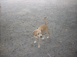 Joker, chien Labrador Retriever