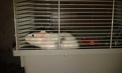 Joker, rongeur Rat