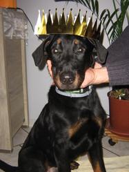 Joker, chien Beauceron