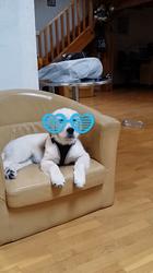 Joker, chien Golden Retriever