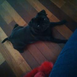 Joker, chien Carlin