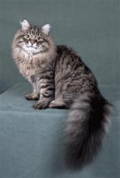 Jokieva Kyska, chat Sibérien