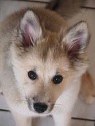 Jokla, chien Berger d'Islande