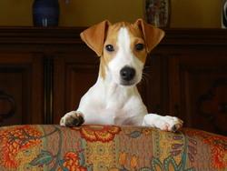 Joky, chien Jack Russell Terrier