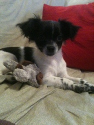 Jolene , chien Chihuahua