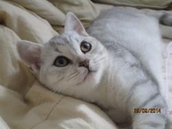 Joli-Coeur, chat British Shorthair