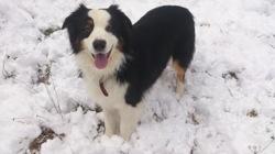 Joli Frimousse, chien Berger australien