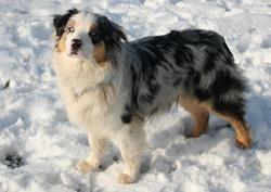 Jolie Coeur , chien Berger australien