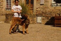 Jolie-Coeur De La Plaine D'Anjou, chien Leonberger