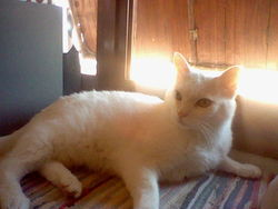 Jolie Coeur, chat