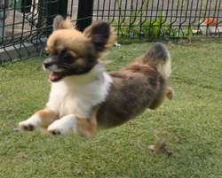 Jolie Poupee, chien Chihuahua