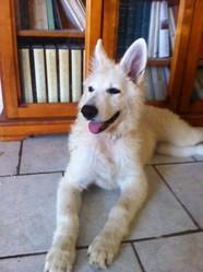 Jolikeur Java, chien Berger blanc suisse