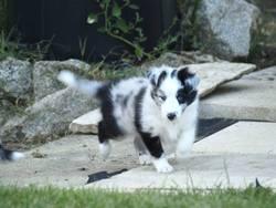Jolly'S, chien Berger des Shetland