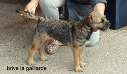 Joly Jumper De Kibéfa, chien Border Terrier