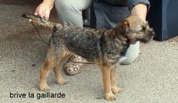 Joly Jumper De Kibéfa, chien Border Terrier