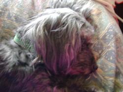Joly, chien Caniche