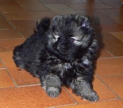 Jon Snow, chien Spitz allemand
