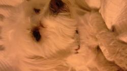 Jonaz, chien Bichon maltais
