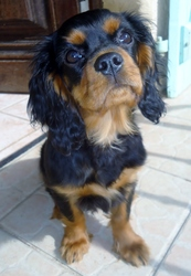 Jonka, chien Cavalier King Charles Spaniel