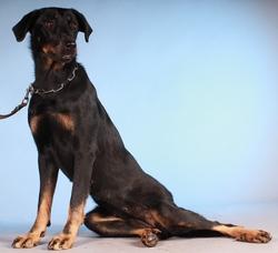 Jonquille D'Hina De Pontourné, chien Beauceron