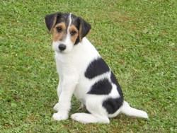 Jook, chien Jack Russell Terrier
