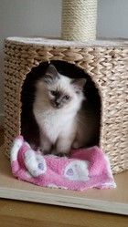 Joon, chat Birman