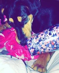 Jordana, chien Beauceron