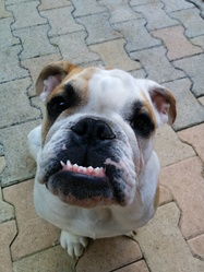 Jorge, chien Bulldog