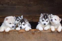 Joriane, chien Husky sibérien