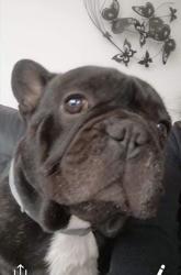 Jorka, chien Bouledogue français