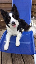 Jorris, chien Border Collie