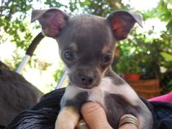 Josepha, chien Chihuahua
