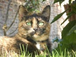 Josephine, chat Européen