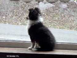Joséphine, chien Berger des Shetland