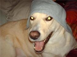 Josh, chien Labrador Retriever