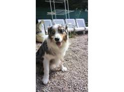 Josh, chien Berger australien