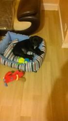 Joshua, chien Labrador Retriever