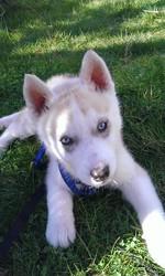 Josko, chien Husky sibérien